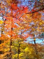 ブナ坂で見付けた綺麗な紅葉
