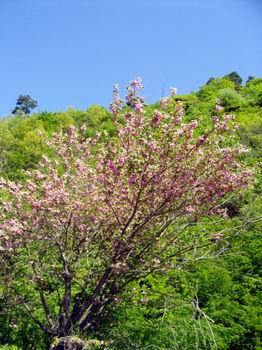 八重桜 上尾崎付近